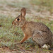 Flickr photo 'Eastern Cottontail (Sylvilagus floridanus)' by: Mary Keim.