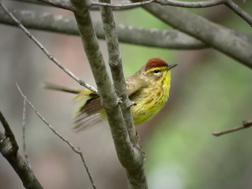 Palm Warbler (Yellow) | by Justin Lee (NoNameKey)