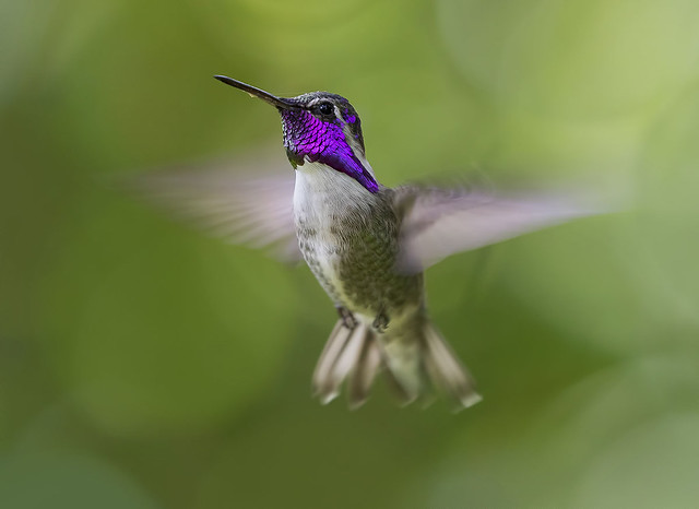 Cosimo in flight. Costa's Hummingbird-Calypte costa's- in flight, Wings of the Tropics, Fairchild Tropical Botanic Garden.
