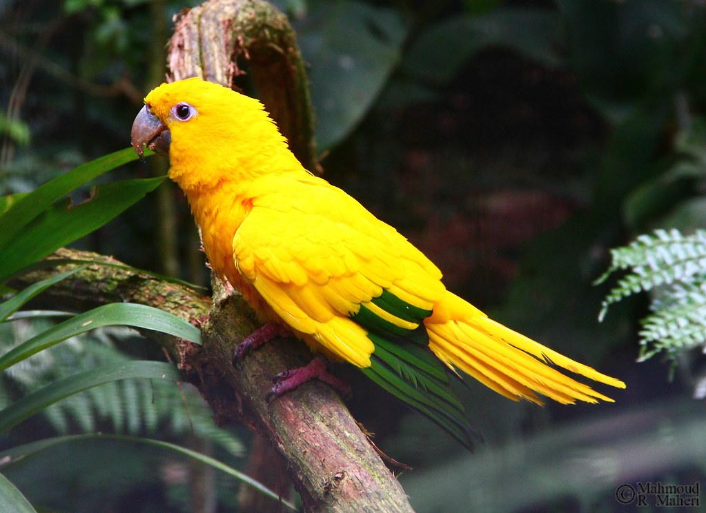 Golden Parakeet (Guaruba guarouba)