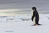 Adélie Penguin (Pygoscelis adeliae) by Mark Carmody