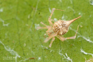 Comb-footed spider (cf. Meotipa sp.) - DSC_2611