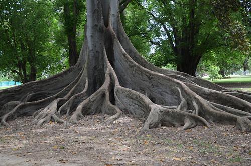 ficusmacrophylla moretonbayfig fig ficus tree adelaide southaustralia australia buttress roots buttressroot geo:country=australia taxonomy:genus=ficus arfp abgarfp