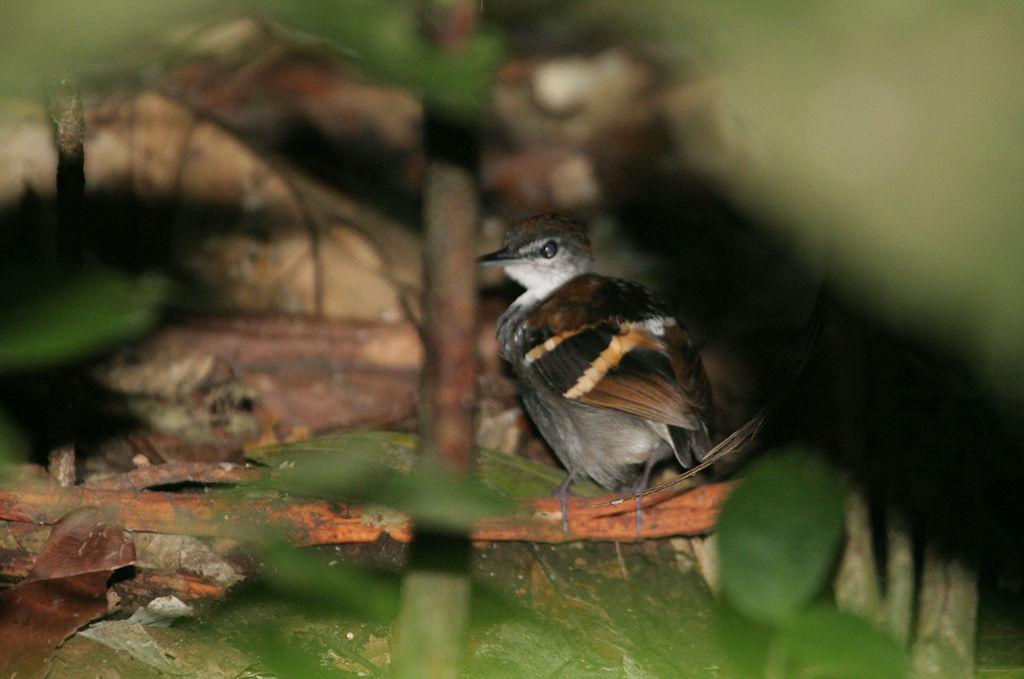 Banded Antbird - Dichrozona cincta - Orellana, Ecuador - January 11, 2006
