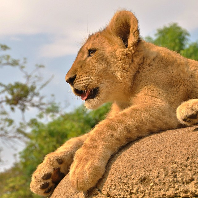 Lion Park, Johannesburg (South Africa)