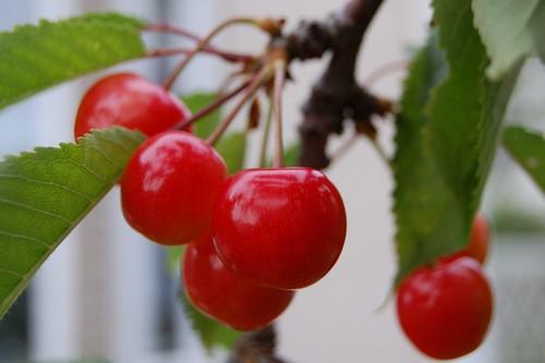 Red cherry, Satonishiki