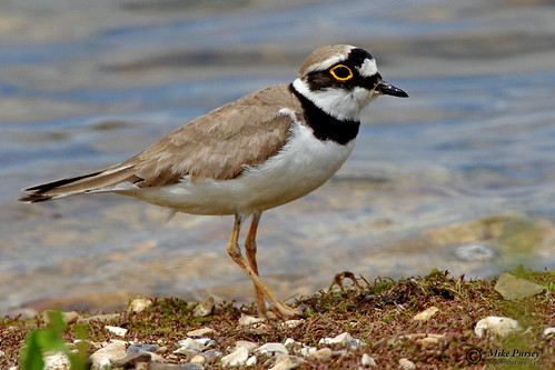 Little ringed plover | by Mike.Pursey