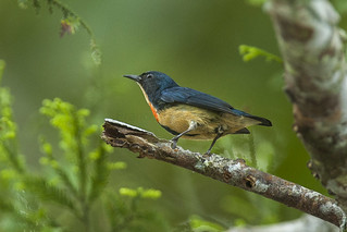 Fire-breasted Flowerpecker - Malaysia_MG_6683