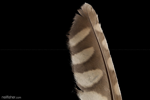 The Feather Of A Ghost (Athene cunicularia)   by neil.fisher