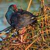 Bird in the reeds by Pascal Bernardin