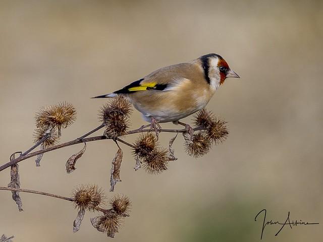 Goldfinch at Nene Park 23/11/16