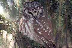 Boreal Owl: Central Park