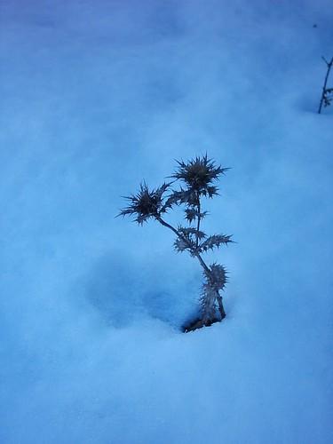 Cardo de nieve