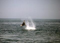 1987 6-20 Talon's calf 14