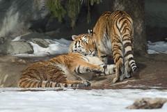 Tiger Parent