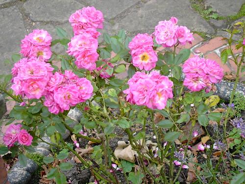 Roses, London