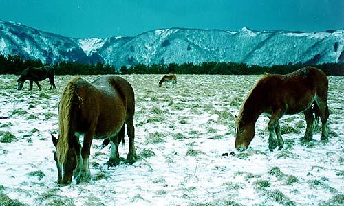 kandachime-horses
