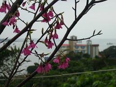 小白宮外的山櫻花