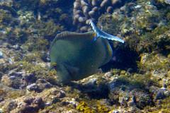 Bluespine Unicorn/Surgeonfish