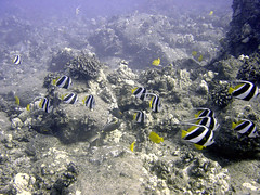 Pennant Butterfly Fish & Yellow Tangs