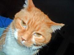 orange tabby cat, looking stern