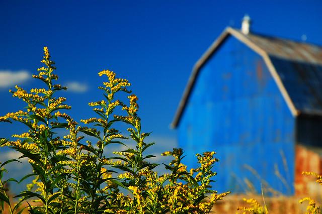 Goldenrods, blue barn, Lanzerac Farm, Bailieboro, ON