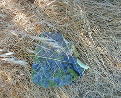 5 leaf in the grass