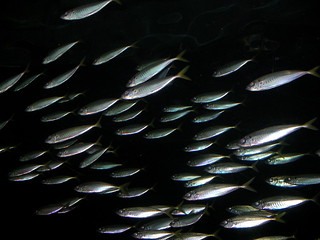 School of fish | by alumroot