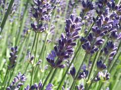 Lavender | by Iakobos