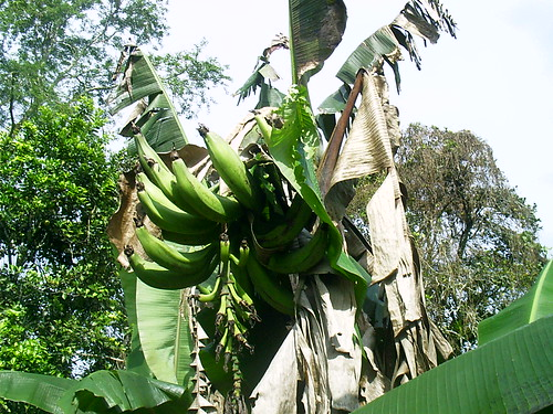 Plantain tree | by Young in Panama