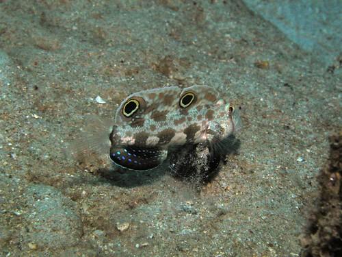 Crab-eye goby | by Chika