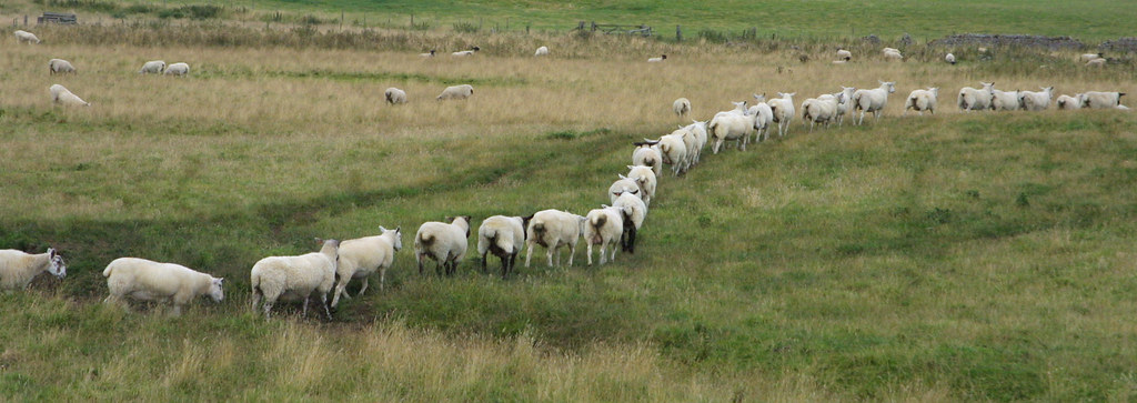sheep walking | Sheep following each other er.. Sheepishly -… | Flickr