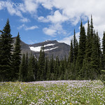 Flower meadow with Piegan Mountain
