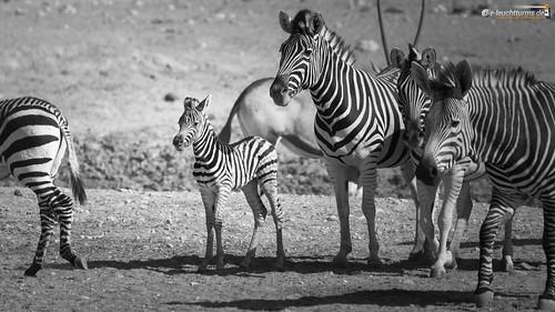 16x9 africa afrika bergzebra equidae equuszebra equuszebrahartmannae etoshanationalpark hartmannbergzebra namibia perissodactyla pferde säugetiere unpaarhufer vertebrata vertebrates wirbeltiere mammals monochrome mountainzebra omusatiregion renostervlei