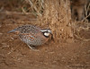 Northern Bobwhite IMG_6165edtvg2 by cmescamilla