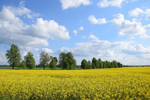 landscape view trees alley avenue green yellow canola sky blue clouds nature spring łódzkie lodzkie polska poland