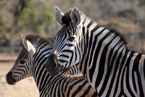 zebra mare and foal   by flowcomm