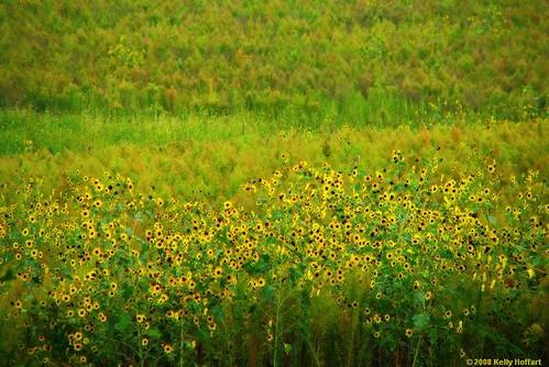 flower green field yellow nebraska sunflower impressionism impressionist fineartphotography hickman kellyhoffart hickmannebraska