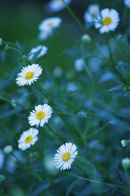 Lovely Pretty Daisies