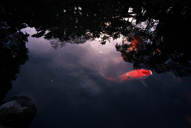 carp emerging