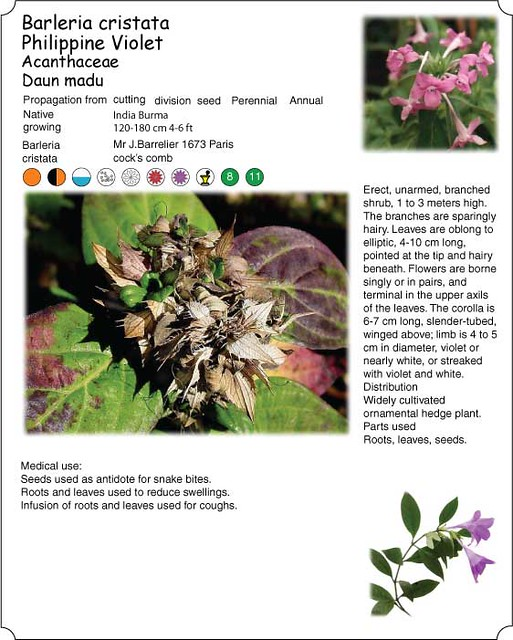 Barleria-cristata, Philippine violet , Daun madu | Medical u