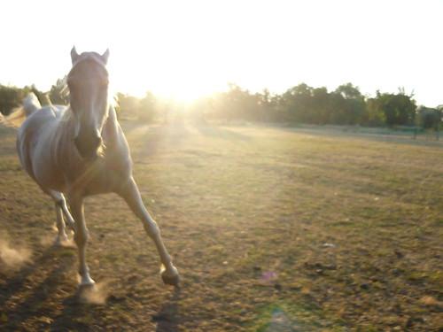 sunset horses running pasture arabian charginghorse