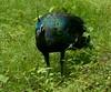 Green Peafowl by thetzawnaing