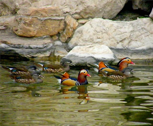 Mandarin Duck Family
