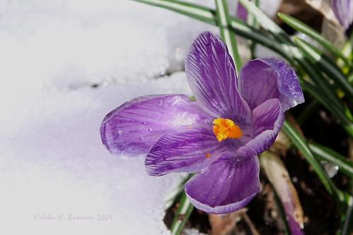 virginia chesterfieldcounty surreywood home flowers crocuses purple winter snow march2009 march 2009 canon241054l explore