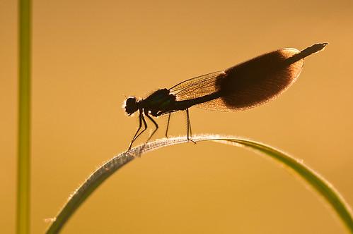 sunset backlight nikon dragonfly 300mm demoiselle nikkor damselfly f4 libellule banded calopteryx odonata zygoptera d90 splendens weidebeekjuffer