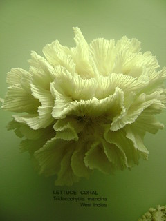 LETTUCE CORAL | by Lisa Margreet