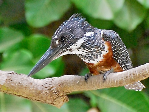 Giant Kingfisher | by jvverde