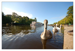 Cygnets on The River Dee | by york360