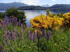 Flowers by Lake Nahuel Huapi